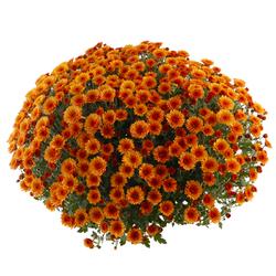 Chryzantema doniczkowa Laflora