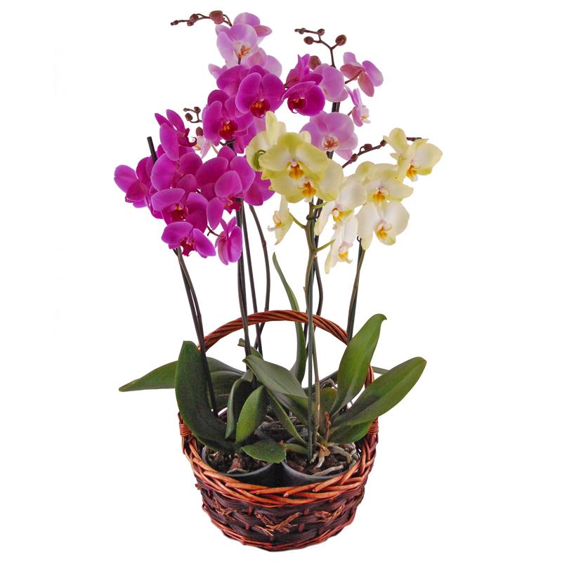 Storczyki w koszyku Kwiaty